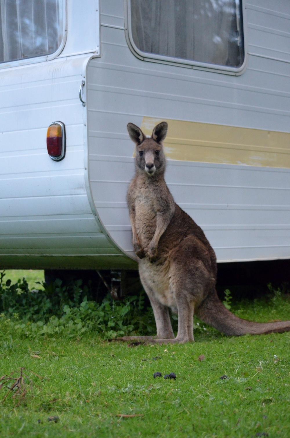 Kangaroo, Grampians