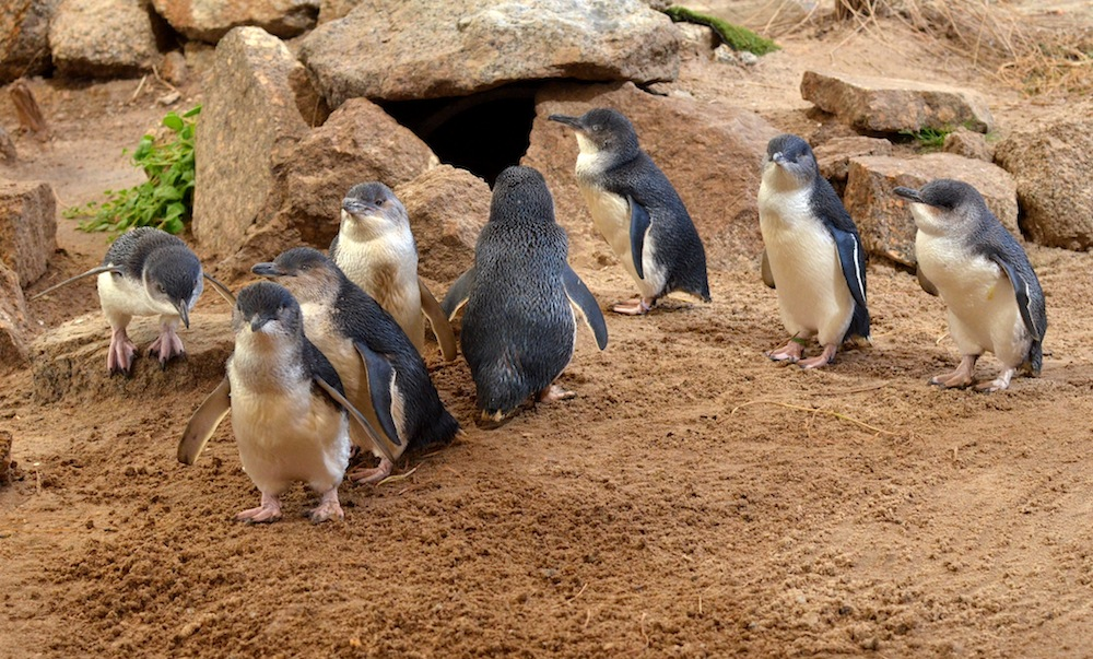 Pinguine, Granite Island