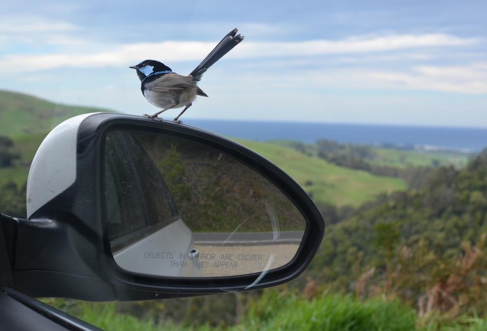 Rückspiegelvogel