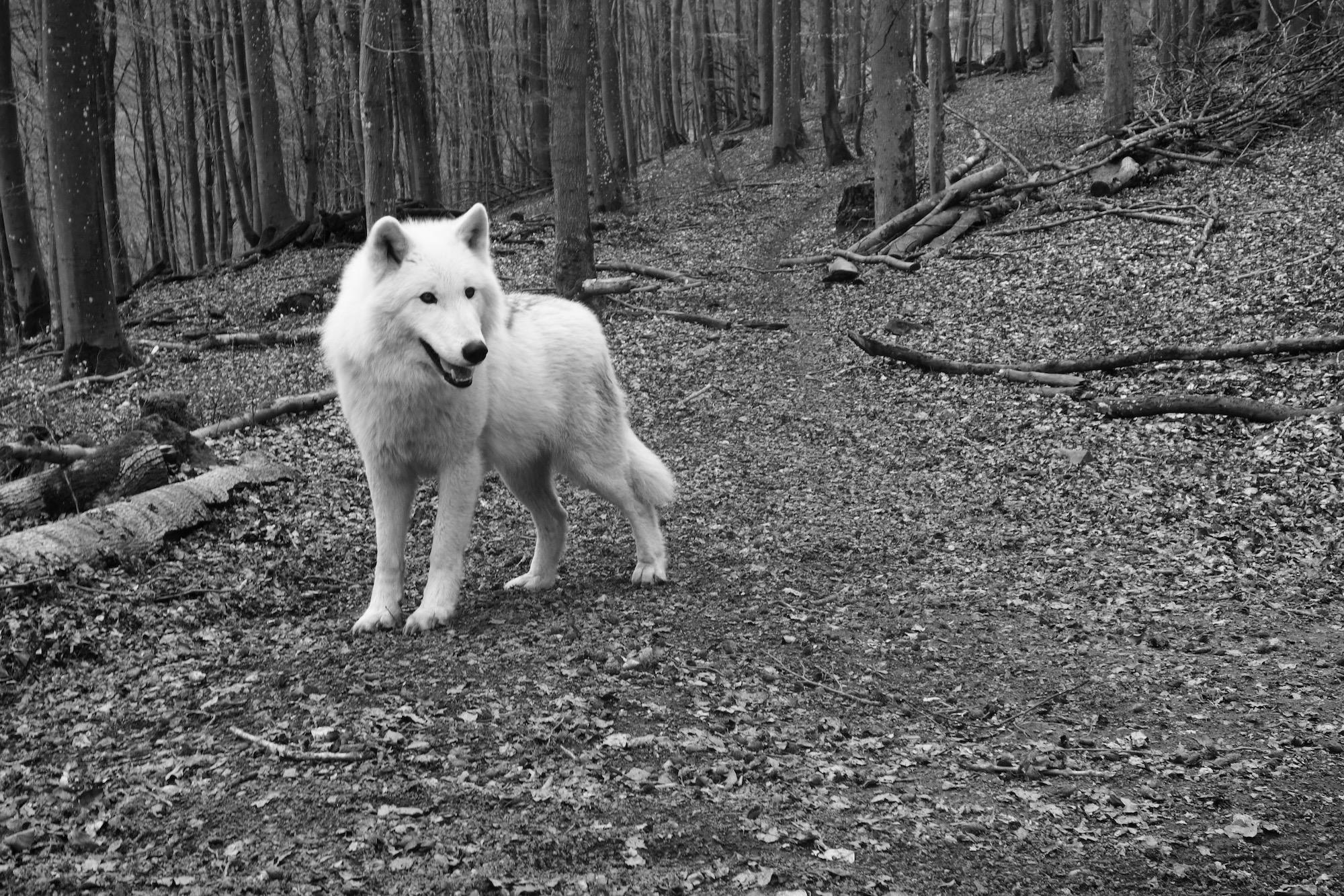 Weißer Wolf (in einem Waldgehege bei Gerolstein)
